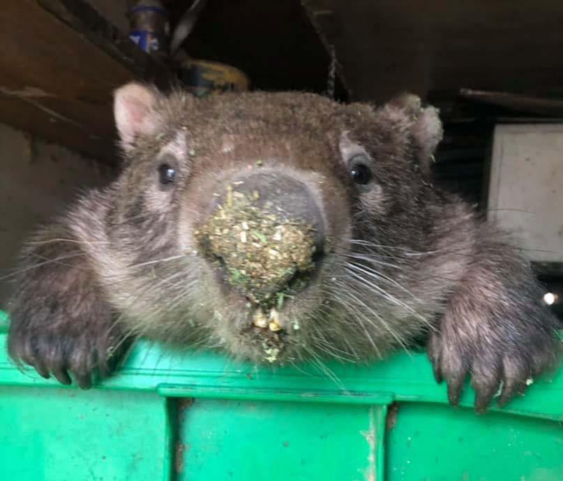 wombat peeking over
